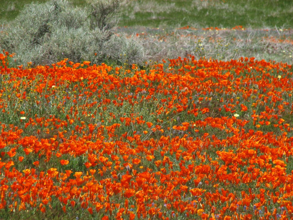 California Poppies for you, dear mothers