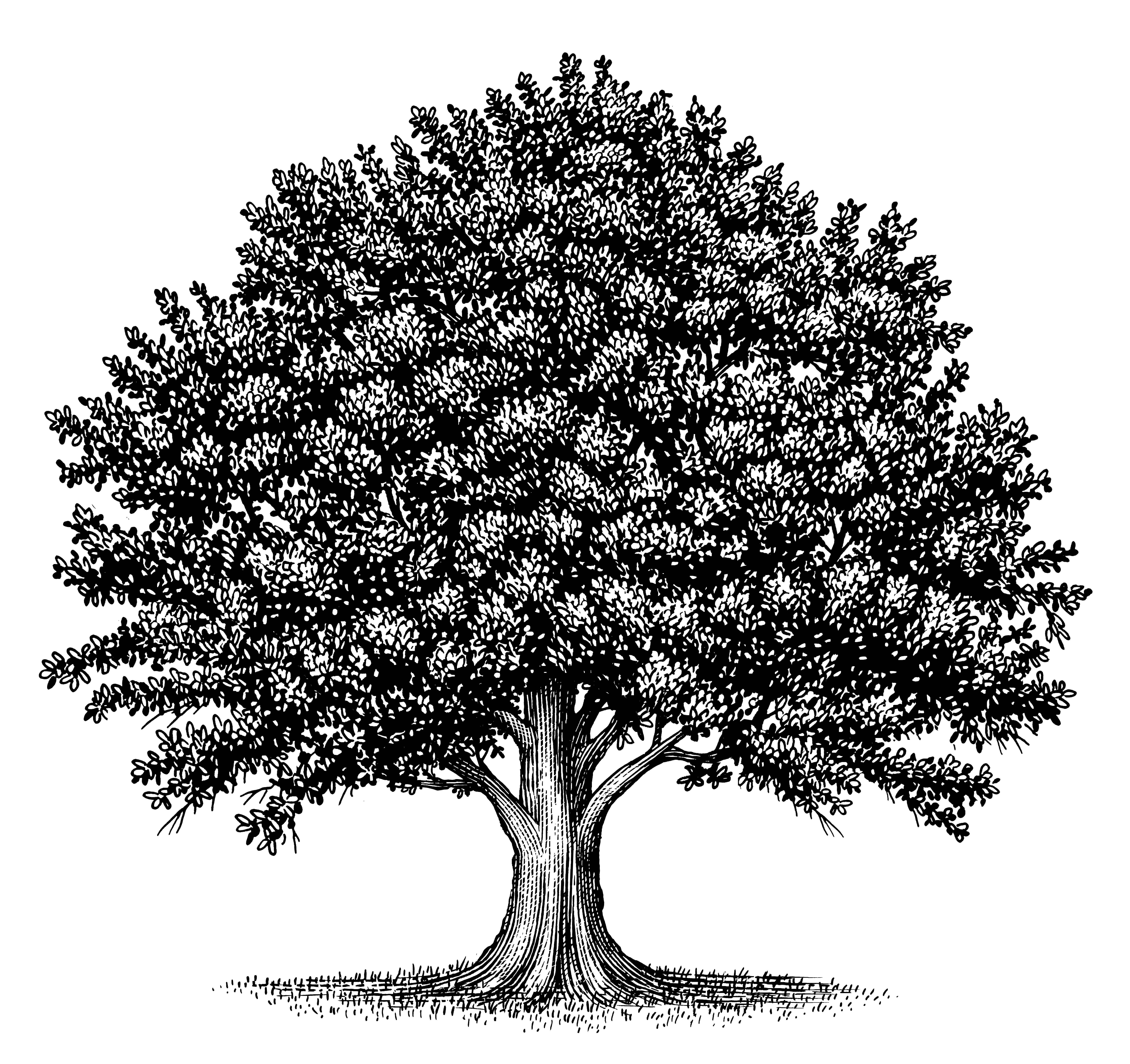 Black and white oak tree drawing imgkid the